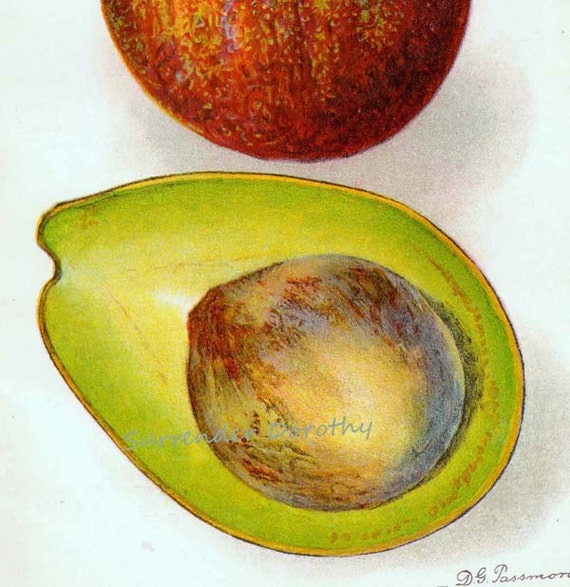 Family Avocado 1910 USDA Botanical Lithograph Department Of Agriculture Print To Frame