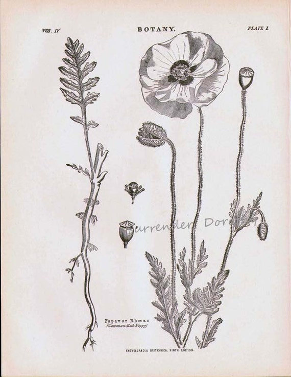 Common Red Poppy Flower Plant Papaver Rhoeas 1892 Victorian