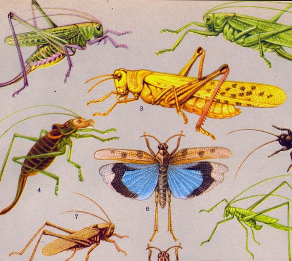 Grasshopper Locust Praying Mantis Bug Entomology Chart Natural History Insect Lithograph Illustration From Russia