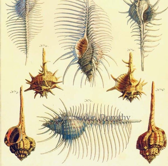 Spiny Murex & Cowrie Shells Vintage Conchology South Pacific, Africa Natural History Seashell Lithograph Chart Poster Print