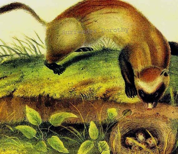 Black Footed Ferret Audubon Wild Animal Natural History Lithograph Print To Frame