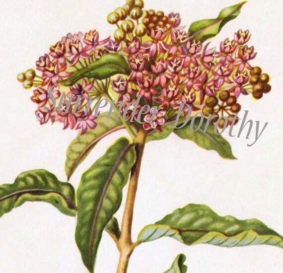 Swamp Milkweed Flower 1950s Vintage Botanical Lithograph Art Print To Frame 151