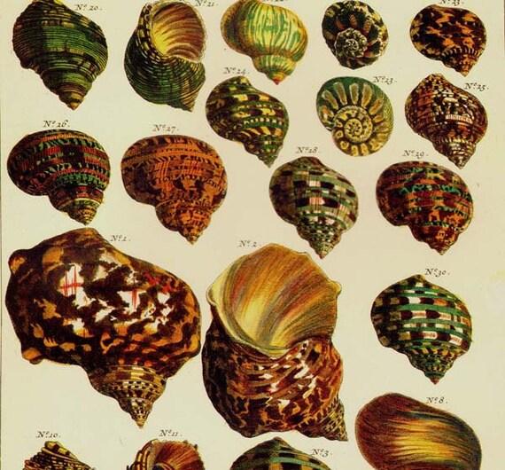 Turban Shells Indo Pacific & West Atlantic Seba Conchology Vintage Natural History Seashell Lithograph Chart Poster Print