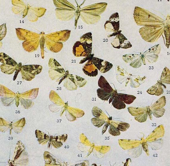 Eustrotia, Xanthoptera & Tarche Moth Chart Entomology Natural History Vintage 1907 Edwardian Rotogravure XXIX