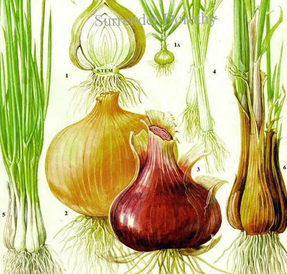 Onion Chart Vegetable Food Botanical Lithograph Illustration For Your Vintage Kitchen 167