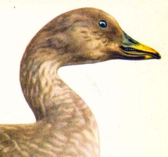 Bean Goose Anser Arvenis Bird Russian Ornithology Natural History Lithograph Print 1960s Illustration To Frame 90