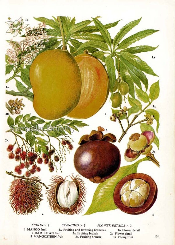 Mango Rambutan Mangosteen Tropical Fruit Chart By