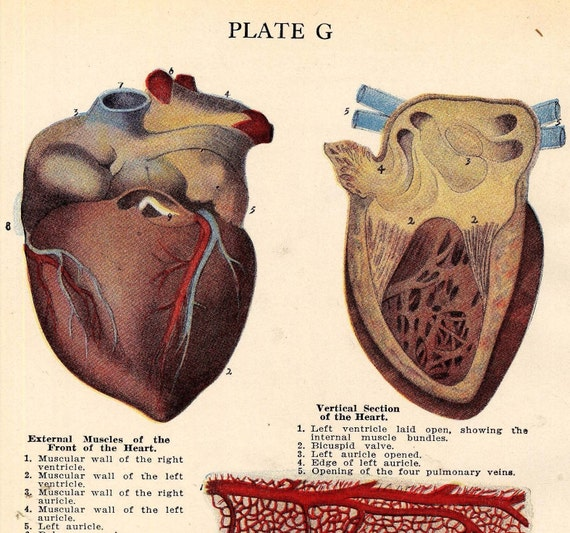 Human heart anatomy vintage - photo#2