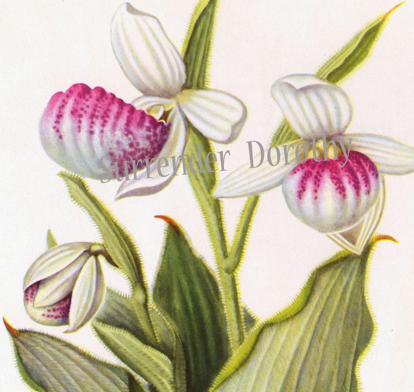 Fancy Lady s Slipper Moccasin Flower Vintage Botanical