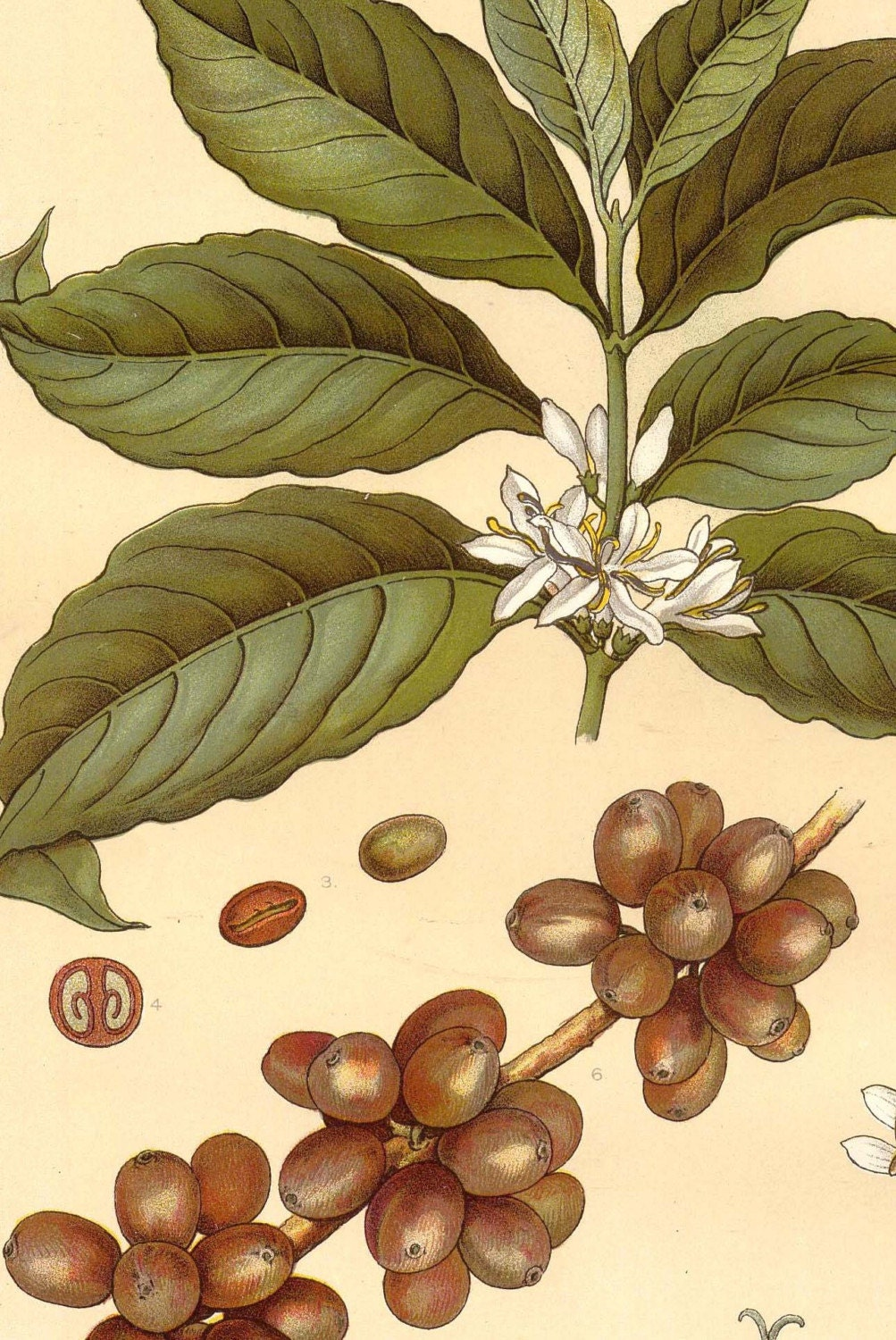 It is a photo of Versatile Coffee Plant Drawing