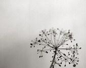 Dill - Fine art photograph - 8x8