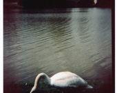 swans - 5 x 5 film photograph print