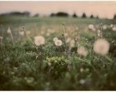 Dandelion Photograph - Flower Photograph - Nature Photography - Forgotten Wishes - Original Fine Art Photograph - Spring - Summer Art - Boc