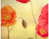 Flower Photograph - Nature Photography - Orange - Yellow - Flowers - Poppy - La Vie En Rose - Spring - Poppies  - Fine Art Photograph - Bock