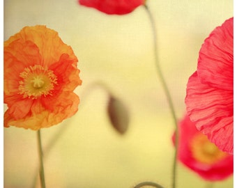 Flower Photograph - Nature Photography - Poppy Print- Botanical Print - La Vie En Rose - Home Decor - Gift For Her- Wall Art - Botanical Art