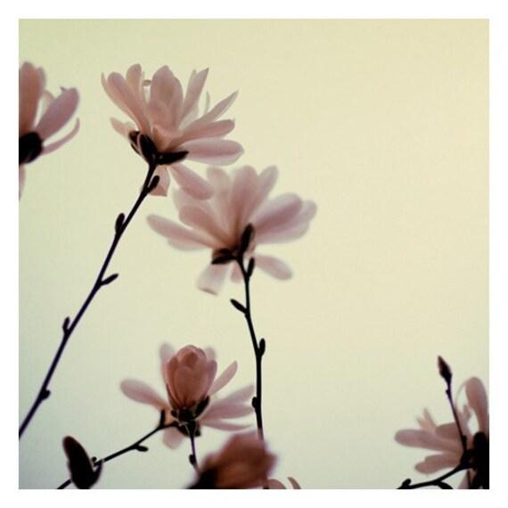 Flower Photography - Magnolia Photograph - Tree - Bloom - Spring - Blossom - Roseate - Original Fine Art Photograph - Springtime - Bock
