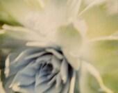 Desert Rose I