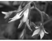 Tomato Flowers Black and white photo 4x6 in photo