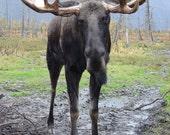 Mr Moose Cranky Pants Magnet