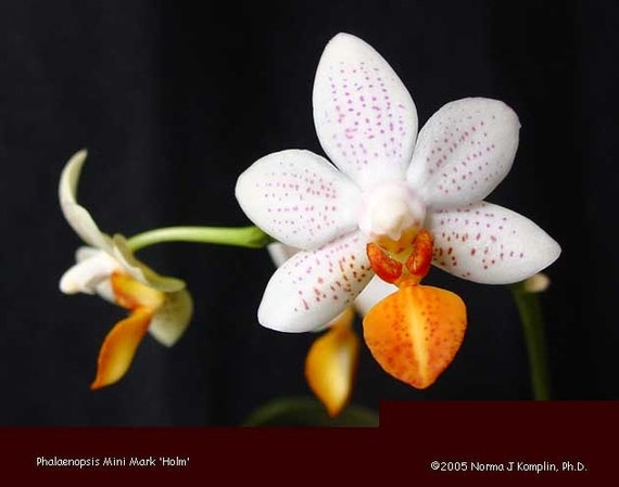 Phalaenopsis Mini Mark White Orange Mini Orchid Blooming Size