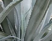 Grey Gardens, Agave Plant, Fine Art Photo, Gardener Gift, Photograph, 8x10, Metallic Print