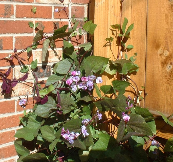 Hyacinth Bean Vine Ruby Moon Seeds
