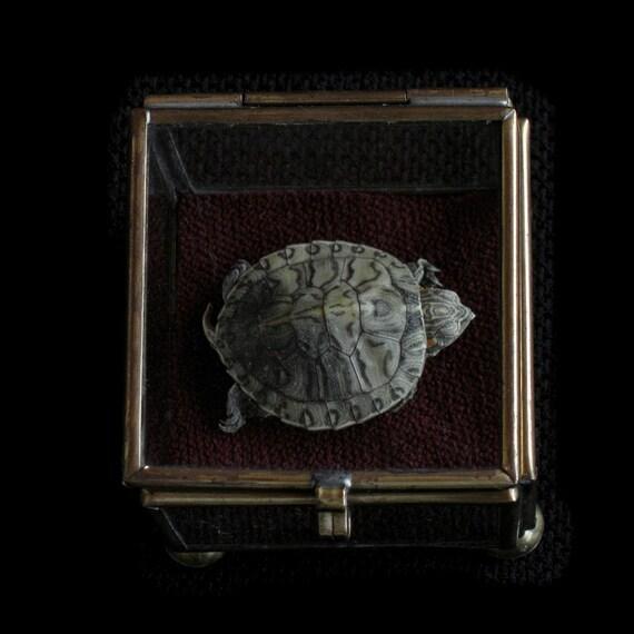 SALE Curiosity - Turtle Specimen