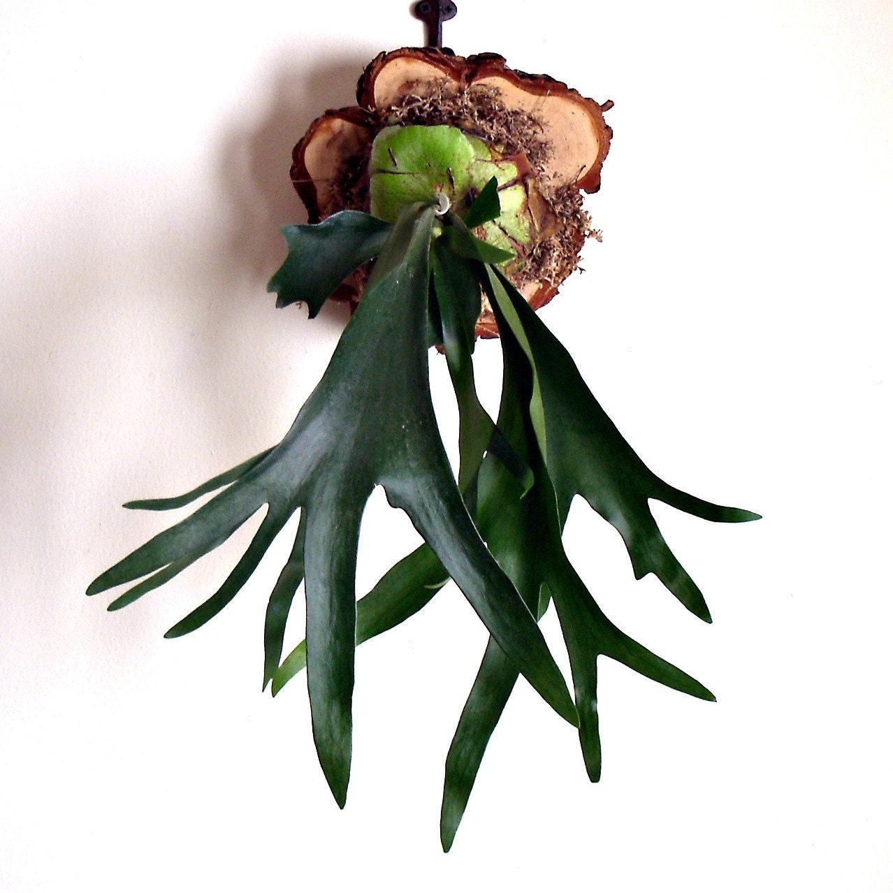 Mounted Antlers Staghorn Fern Mounted On Natural Cypress