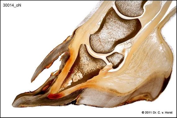 Laminitis hollow loose hoof wall separation equine founder pathology anatomical plastinate print