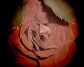 SALE Rose Flower Photo - 5x5 Photography Print - Dark Gothic Nature Photo