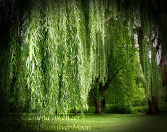 The Haunting Weeping Willow Tree - Fine Art Photography