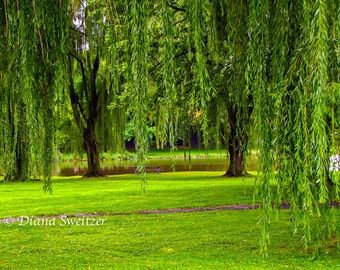 The Magic of Willow Tree Park - Fine Art Print  Photography