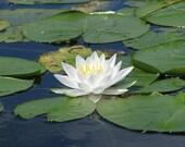 Lotus Flower, Toronto Islands, photograph