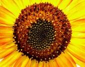 Sunflower closeup, photograph