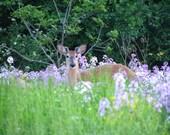 Hiding deer, photograph