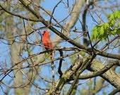 Male cardinal singing, photograph