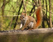 Red squirrel, photograph