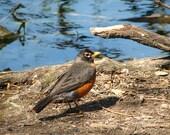 American Robin, photograph