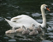 Mother swan with cygnets, photograph