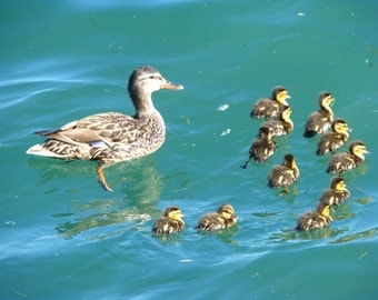 Duck and ducklings, photograph