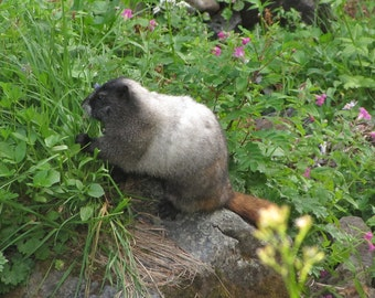 Marmot eating, photograph