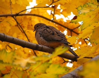 Mourning dove, photograph