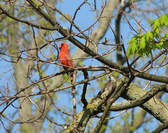 Male cardinal singing, photograph