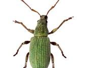 Green Beetle Vinyl Decal