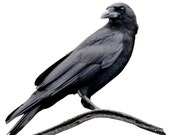 Full Color Crow on a Branch Wall Decal