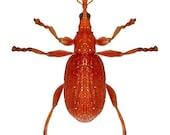 Orange Beetle Vinyl Decal