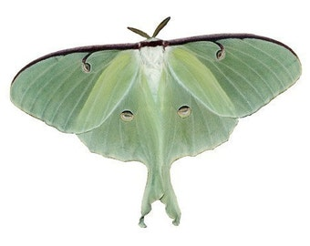 Luna Moth Vinyl Decal - As Featured in Country Living