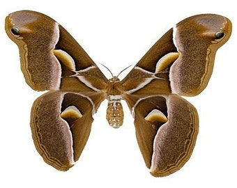 Beautiful Brown and White Moth Decal