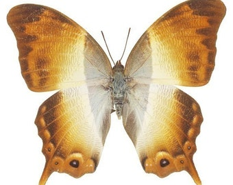 Beautiful Golden Moth Decal - As Seen in Country Living Magazine