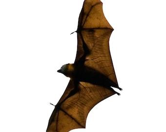 8 Inch Flying Fox Bat Vinyl Wall Decal